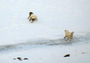 """Marsica, il Pastore Abruzzese """"Macho"""" affronta e mette in fuga un branco di lupi"""