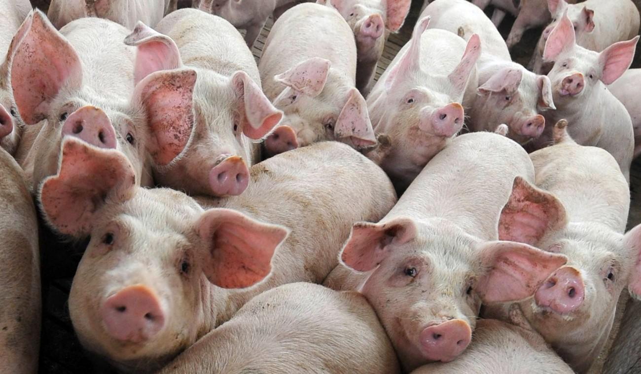 Furto in un'impresa zootecnica: rubati molti animali e camion per il trasporto