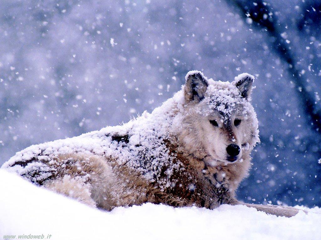 Branco di lupi affronta la tempesta di neve nel Parco regionale d'Abruzzo Lazio e Molise