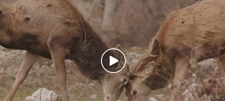 Video di cervi maschi giovani che giocano a Villetta Barrea