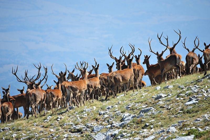 Branco di cervi sulle montagne fra Antrosano e Massa D'Albe