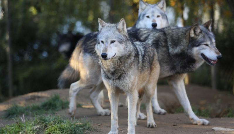 Rinvenuto un esemplare di lupo morto