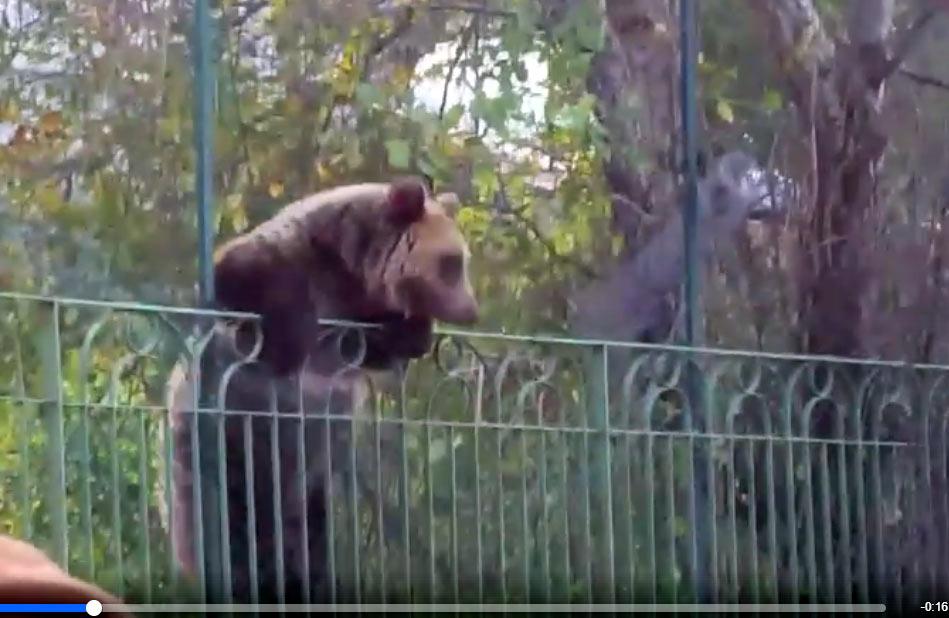 Passeggiata dell'orsa Giacomina a Civitella Alfedena (video)