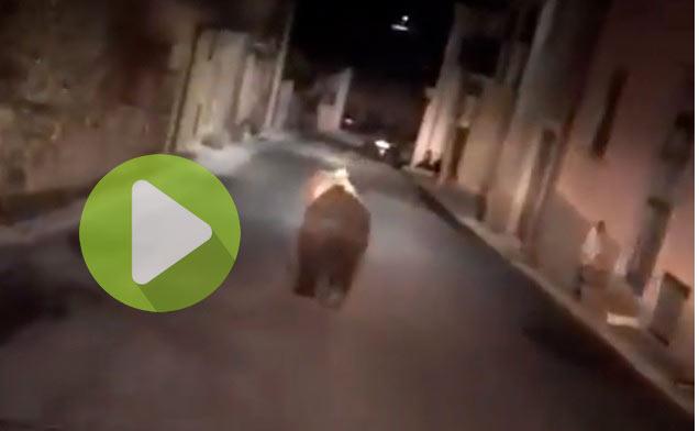 Orso di Ortucchio, ecco il video del grande esemplare di Orso Marsicano nelle strade del paese