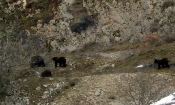 Aria di primavera, l'orsa Peppina e i suoi tre cuccioli si svegliano dal letargo