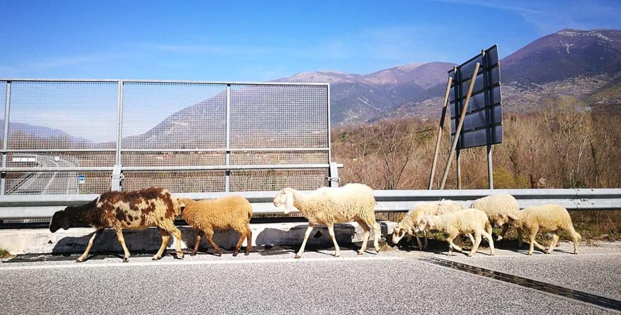 Pecore al pascolo sulla ex Superstrada del Liri