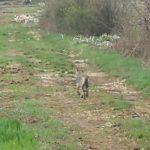 Avvistato un lupo a passeggio nel Fucino