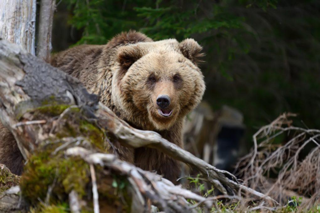 """Incursione dell'orso nella notte a Trasacco, """"la sera abbiamo paura di uscire di casa"""""""