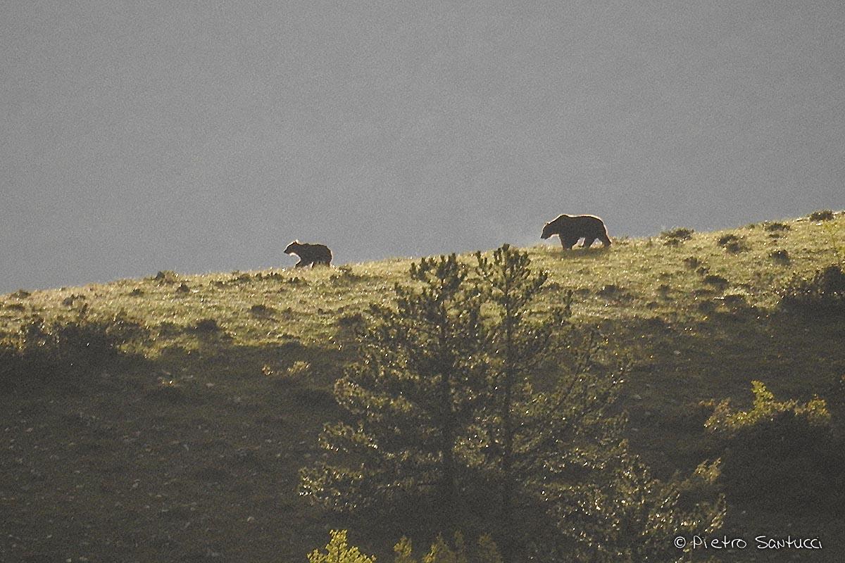 Straordinarie immagini di orsi a Civitella Alfedena