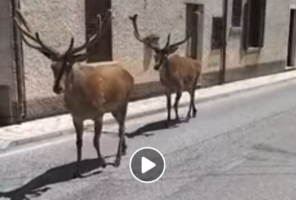 Lapponia o Abruzzo? ecco il video virale dei cervi a spasso per il paese