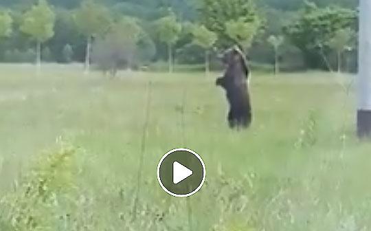 In piedi sulle zampe posteriori, lo spettacolo dell'orso marsicano che osserva il territorio della Vallelonga