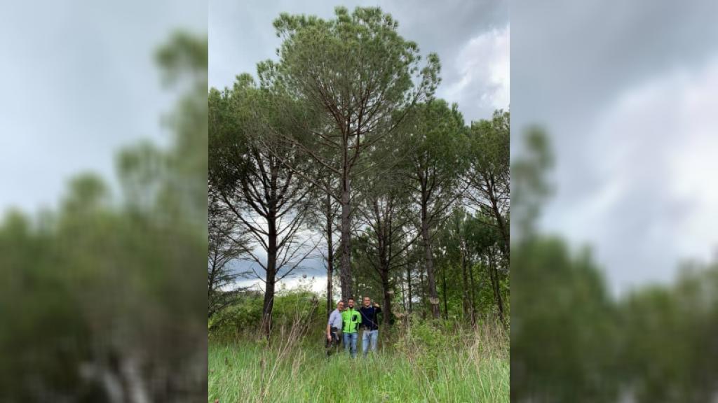 Massa d'Albe riavrà un pino all'ingresso del paese