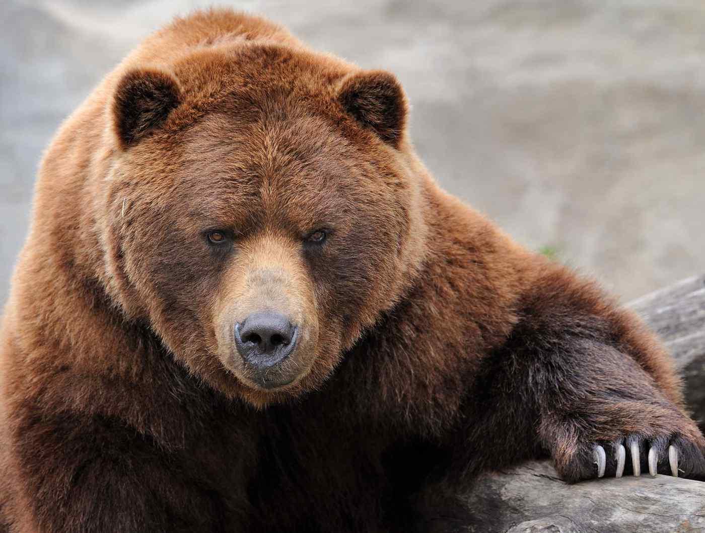 Scanno, orso fa strage di pecore e agnelli