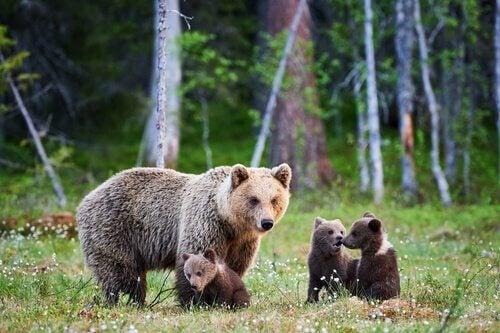 La sopravvivenza dell'orso marsicano in costante pericolo