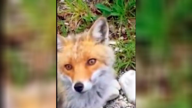 """Filmato un incontro ravvicinato con una piccola volpe nel Parco D'Abruzzo, """"Emozione unica"""""""