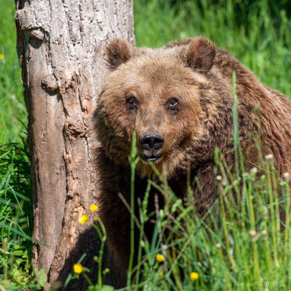 Orso marsicano, il WWF mette in sicurezza un altro tratto di strada