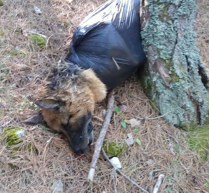 Cane pastore tedesco trovato dentro un sacco nero di plastica