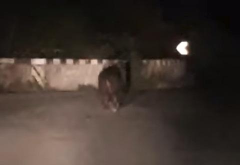 Orso a passeggio a Capistrello nel cuore della notte