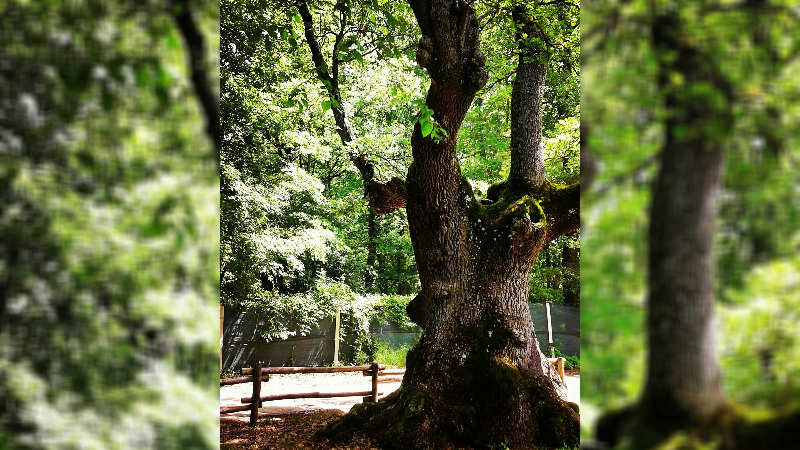 La Quercia di Donato ha 750 anni ed è uno gli alberi monumentali più vecchi d'Abruzzo