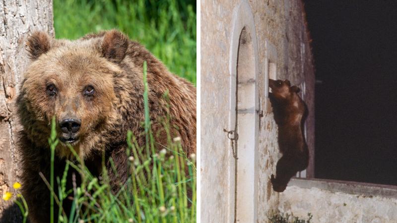 L'orsa Yoga è stata ritrovata morta dai custodi del Centro Visite del Parco a Pescasseroli