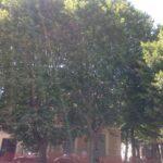 """Piazza del Mercato a Avezzano. Il Co.n.al.pa. """"Abbattere alberi storici è un delitto contro la collettività"""""""