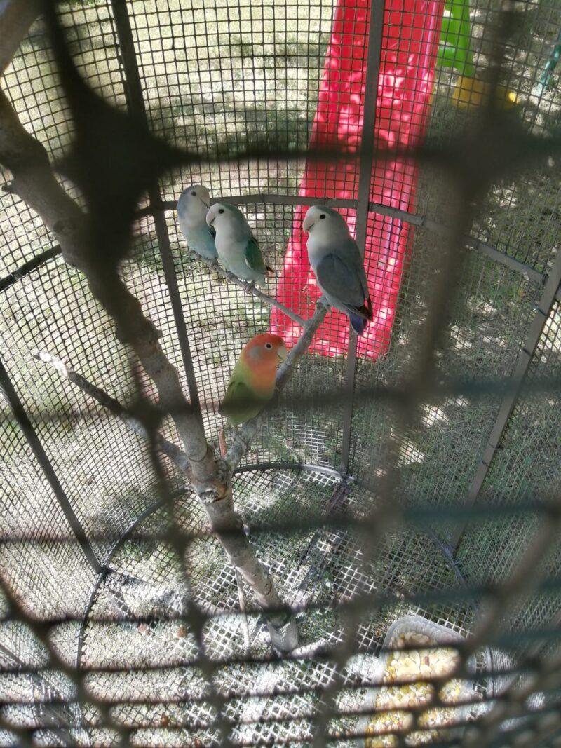 Torna a casa la coppia di pappagallini salvati dai Vigili del Fuoco di Avezzano