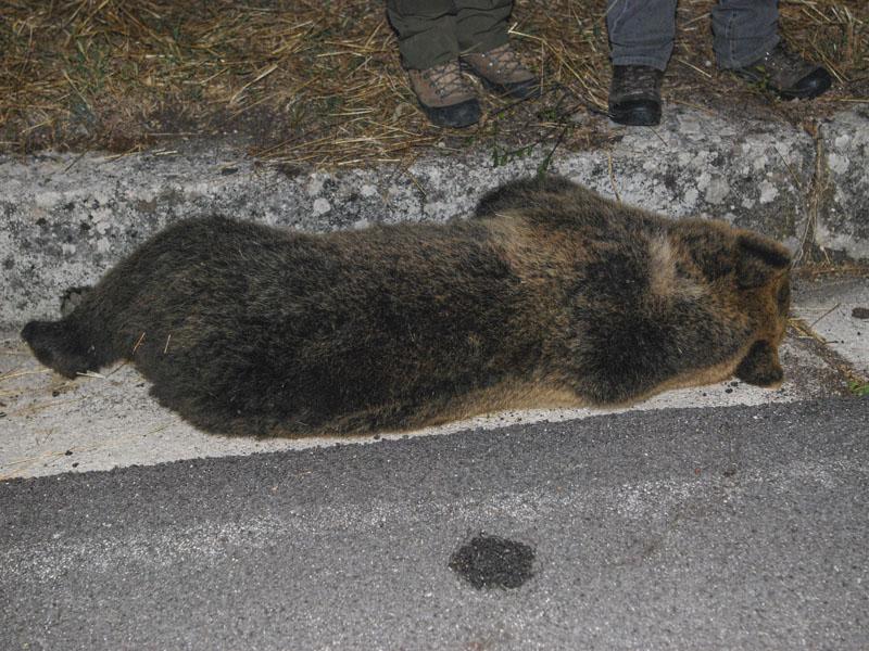 Investito e ucciso un orso bruno marsicano