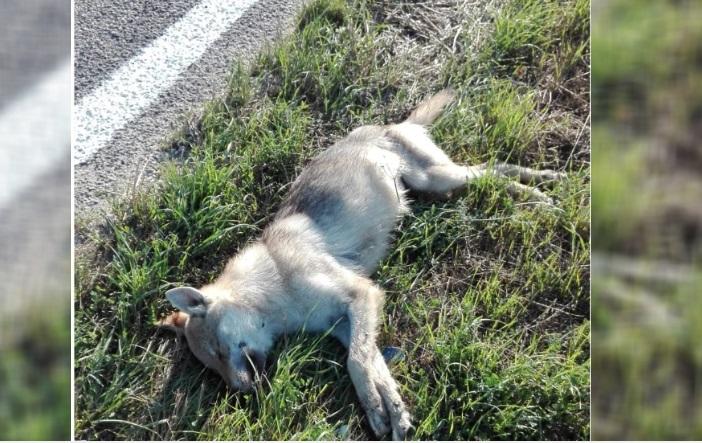 Avezzano, trovato un cane morto sul ciglio della strada