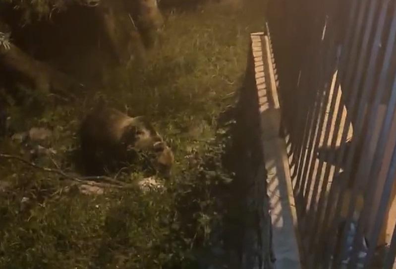 """Avvistata l'orsa Giacomina in un centro abitato del Parco Nazionale. L'avvertimento degli esperti: """"Chi da cibo agli animali li condanna ad una brutta fine"""""""