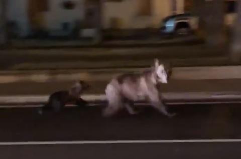 La corsa di mamma orso e il suo cucciolo in piazza a Pescasseroli
