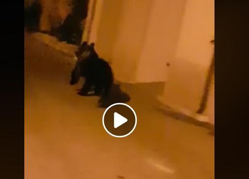 Spettacolare incontro con un giovane orso a San Sebastiano dei Marsi (Video)