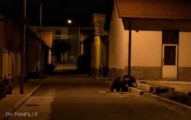 Insoliti incontri con un orso marsicano in pieno centro abitato a Gioia dei Marsi