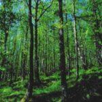Taglio di un bosco maturo in Comune di Cansano