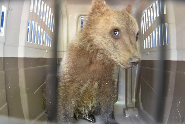 Cucciolo di orso ritrova la madre. Un caso mai documentato in Italia