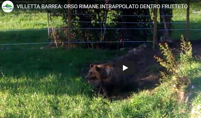 Orsa rimane intrappolata in un frutteto (Video)