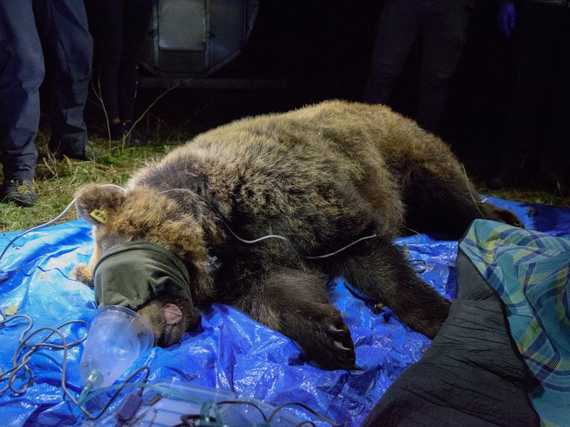 Catturata e radiocollarata Barbara, l'Orsa delle tre aree protette