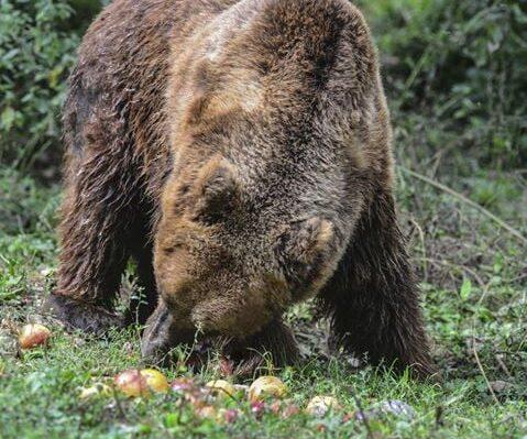 """Adotta un melo, l'iniziativa dell'Associazione Montagna Grande """"da dedicare al nostro Amico plantigrado"""""""