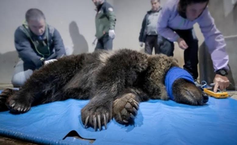 Controlli per l'orsa Lauretta, la mascotte del Centro Visite del Parco Nazionale d'Abruzzo