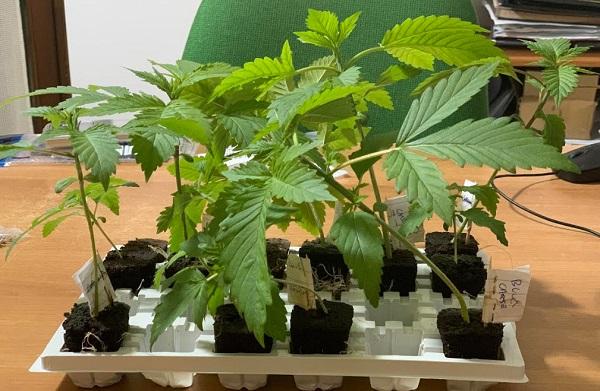 Coltivava piantine di marijuana in casa, arrestata