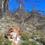 Alberi sradicati e crollati sulla montagna di Scurcola Marsicana