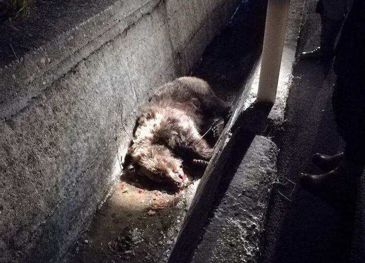 Investita e uccisa un'orsa sulla SS. 17 aveva con se un cucciolo