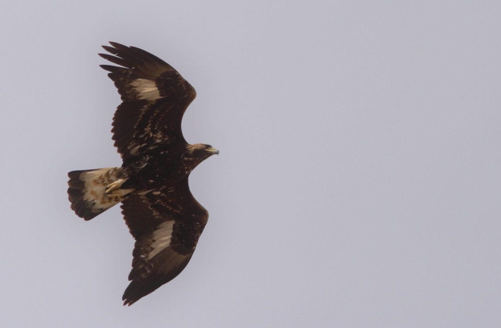 """SOA """"Le aquile reali volano da sempre sul Gran Sasso. Le """"vittime"""" sono gli animali selvatici"""""""