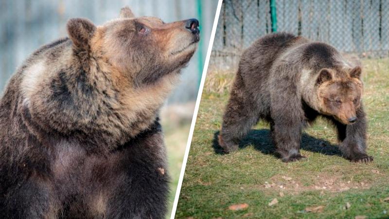 """Morta Lauretta, l'orsa del Centro Visite di Pescasseroli, addio """"l'ambasciatrice"""" degli orsi marsicani"""