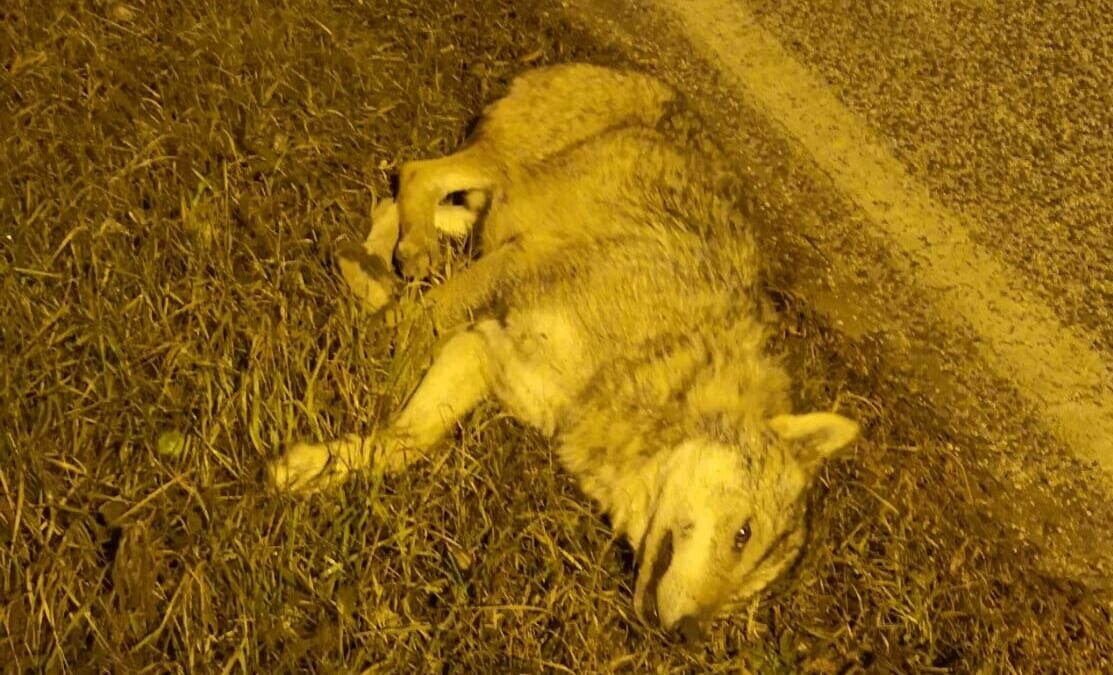 Lupo muore investito da un'auto alle porte del paese