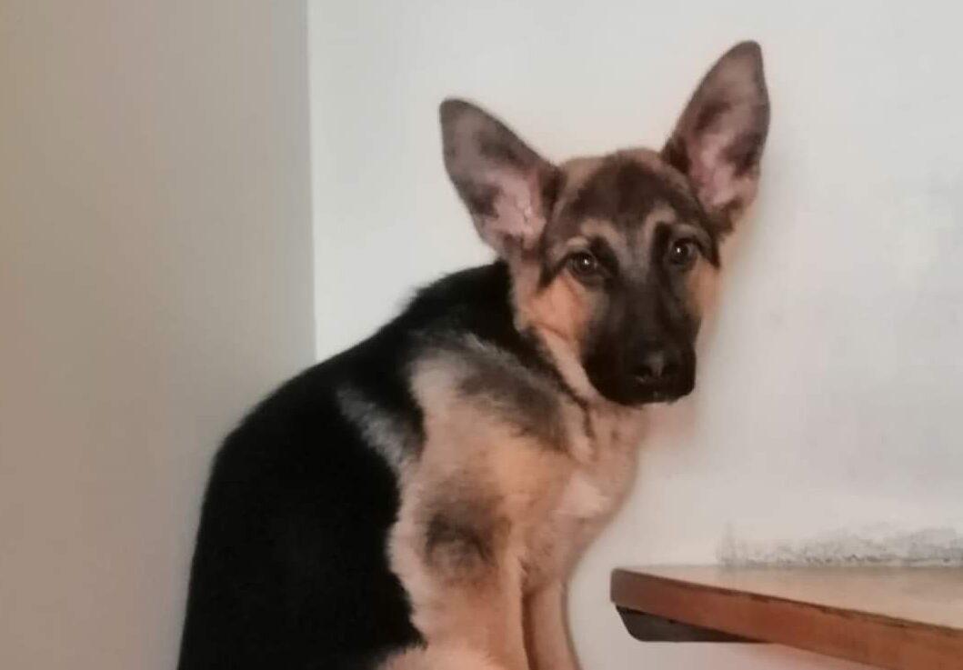 Smmarrita cucciola di pastore tedesco, l'appello dei proprietari