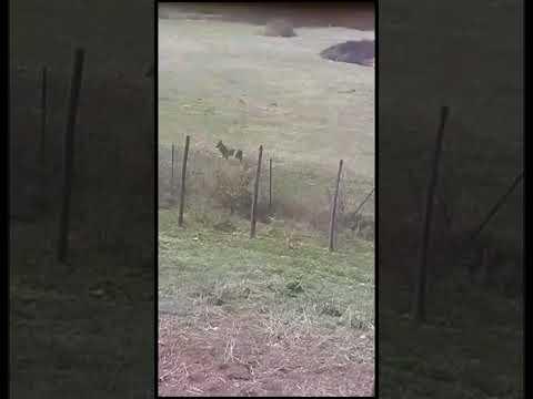 Avvistato un lupo nei pressi di un'abitazione di Capistrello