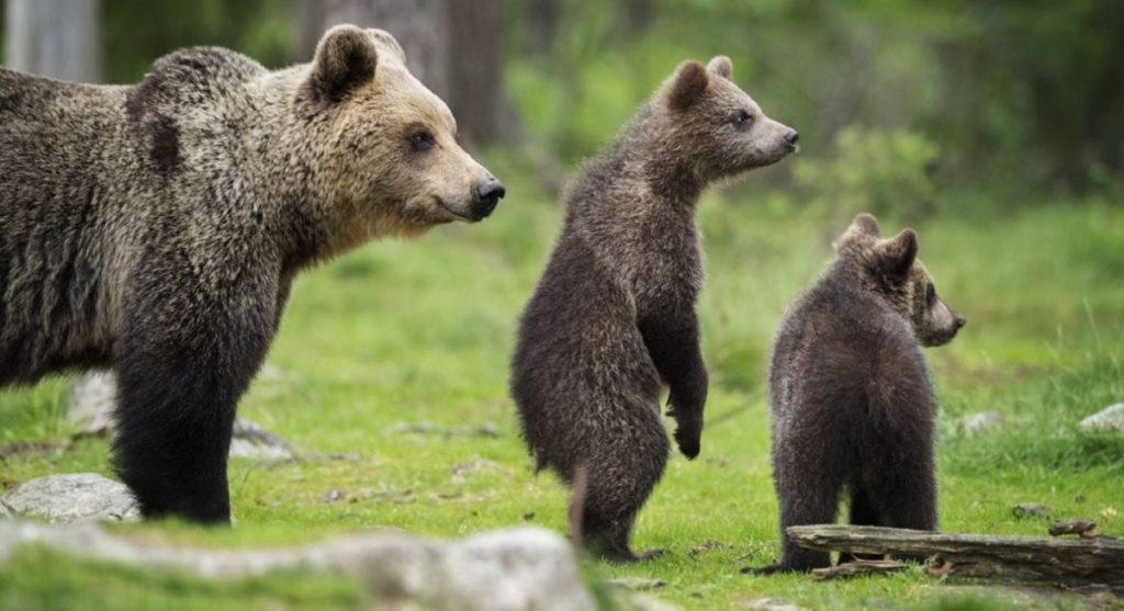 """Il WWF Abruzzo chiede al Governo di impugnare una legge regionale """"Che mette in pericolo l'Orso marsicano"""""""