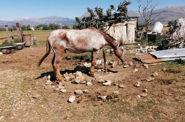 Abbandono di animali, denunciato un uomo: lasciava i suoi due cavalli legati con una corda, senza acqua né cibo e senza un riparo