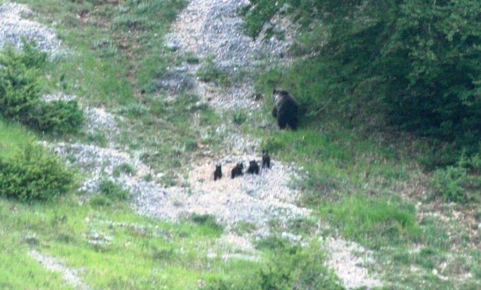 Mamma orsa a spasso con i suoi 4 cuccioli, ecco le immagini di un evento straordinario nel Parco