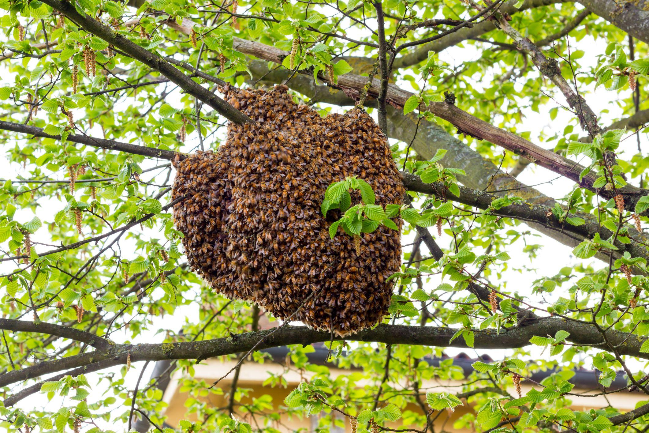 """Avvistati diversi casi di sciami di api nella zona di Collelongo, l'assessore Venettacci """"Non ucciderle, chiamare i Vigili del Fuoco"""""""